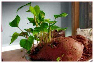 батат картоха растения