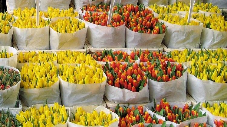 Амстердам тюльпаны цветы