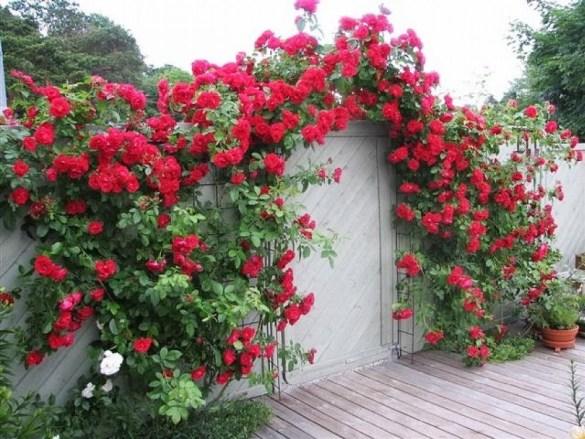 роз обрезка ворота