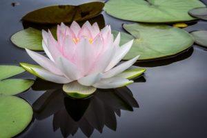 Sintoniza Tu Aura Mediante La Meditación of pink and white lotus flower floating on body of water