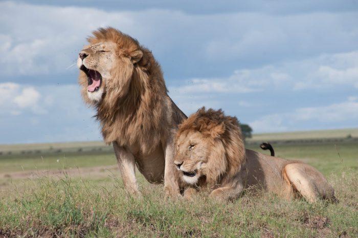 lion-gazelle-argument-vegan