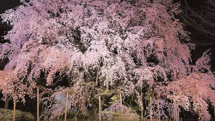六義園のしだれ桜が美しい!開花状況や見頃、アクセス方法について