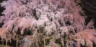 六義園しだれ桜開花状況