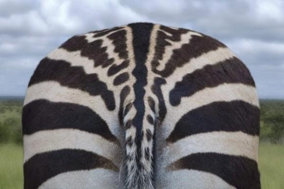 zebra-back