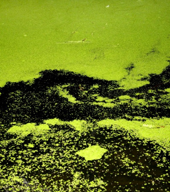 algae0911
