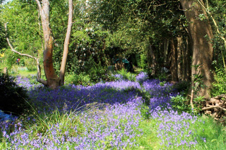 Bluebells at the Doves Nest, UK