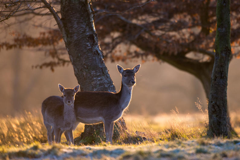 Deer in the Ashdown Forest
