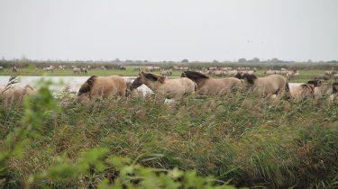 Staatsbosbeheer mag konikpaarden Oostvaardersplassen vangen voor de slacht