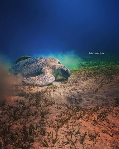 Schildkröte Rotes Meer