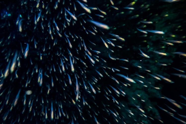 Schwarm Glasfische