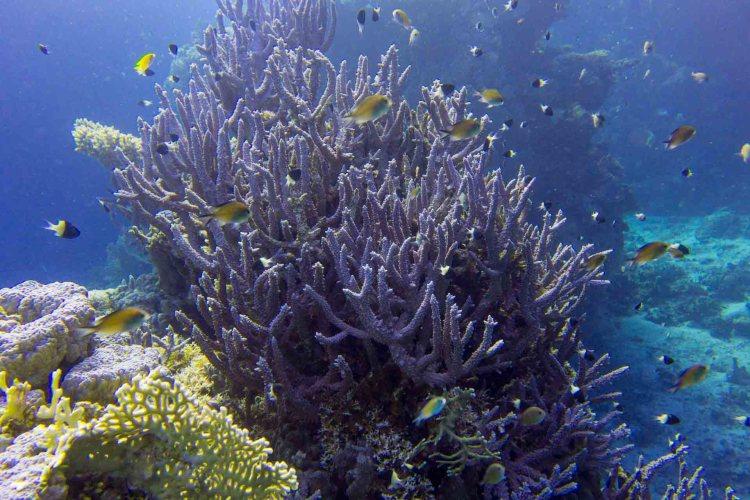 Koralle mit Fischen