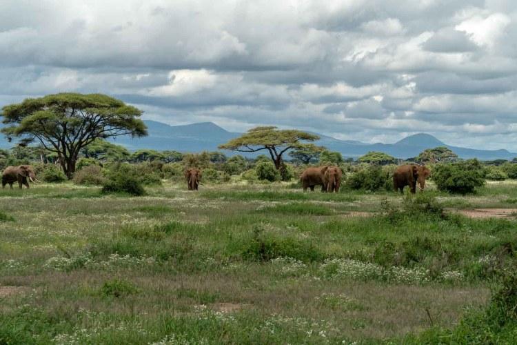 Elefanten in Amboseli