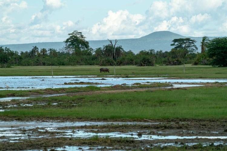 Flusspferd in Amboseli