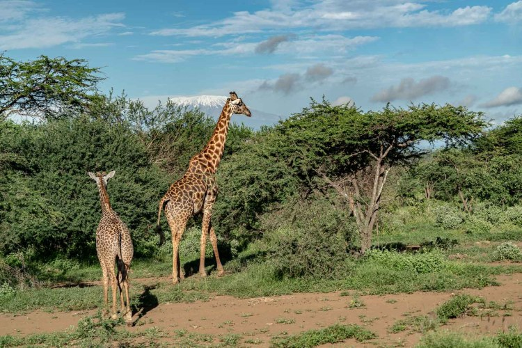 Giraffen mit dem Kilimanscharo im Hintergrund