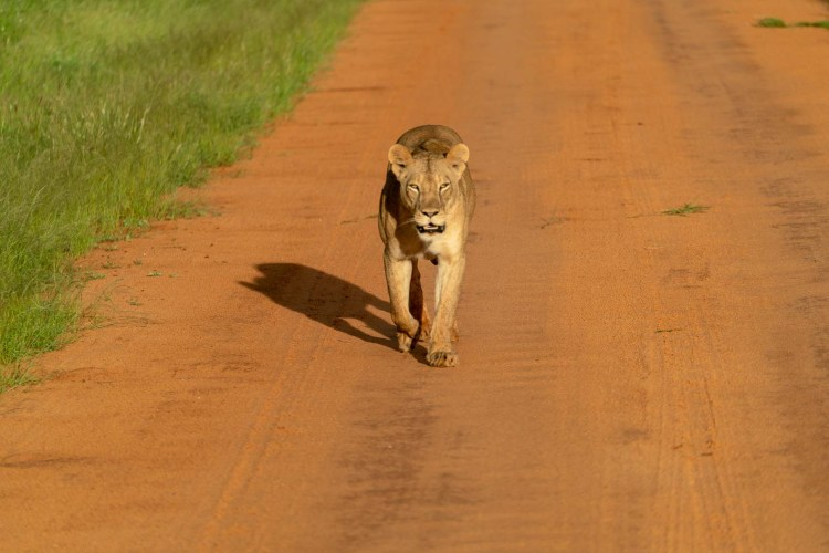 Löwe in Tsavo East