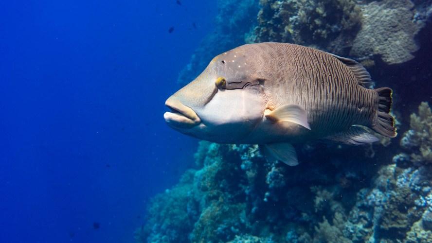 Napoleon Fisch in Ägypten
