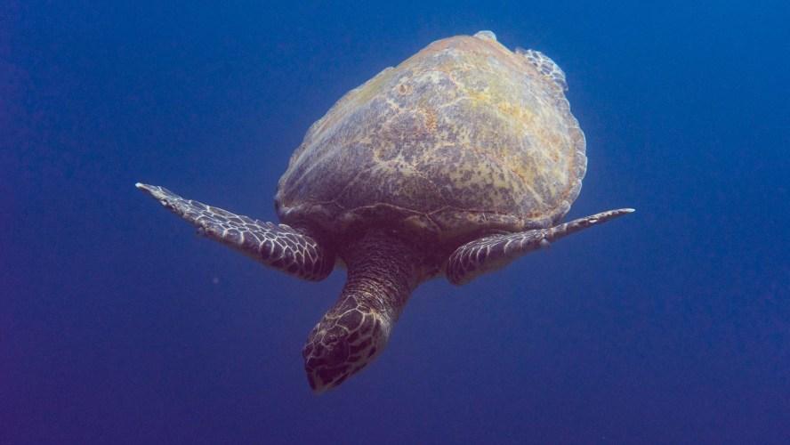 Schildkröte unter Wasser in Ägypten