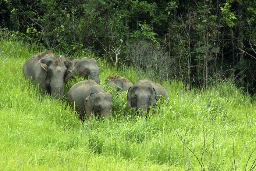 los-elefantes-salvajes-de-Khao-Yai