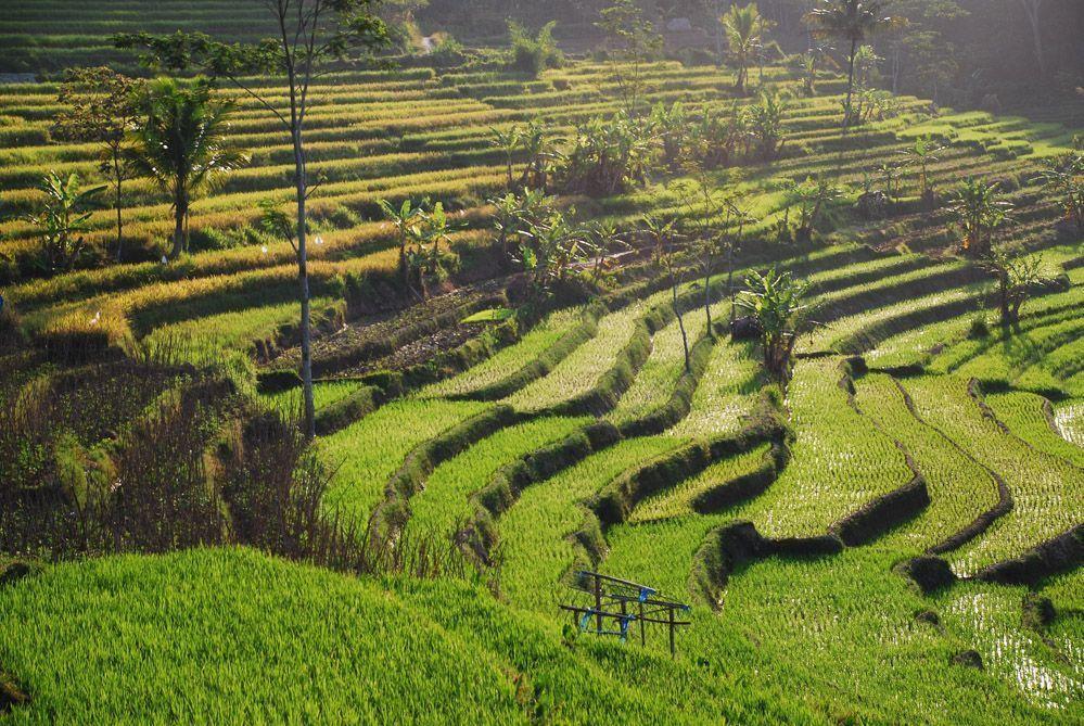 Arrozales-Java-rutas-Selogriyo