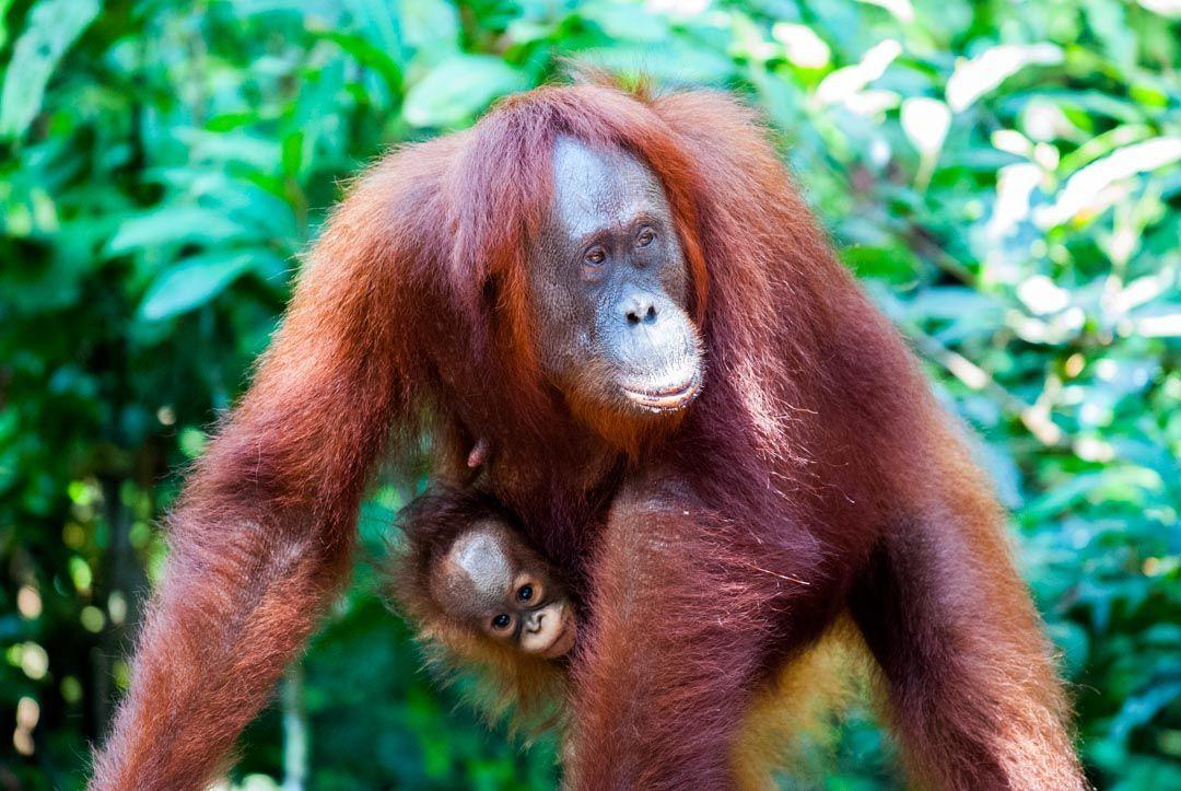Orangutanes-Indonesia