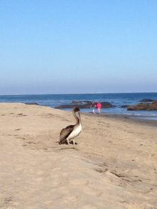 Big Rock Beach Walk with Brown Pelican on Guard