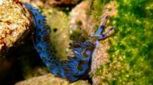 Blue dragon (nudibranch, Pteraeolidia ianthina). Image credit: Sylke Rohrlach (https://www.flickr.com/photos/87895263@N06/8427788795)