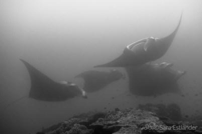 Reef manta rays (Manta alfredi)