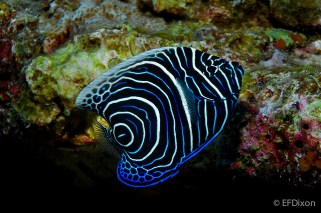 Juvenile emperor angelfish. Image credit: EFDixon (https://www.flickr.com/photos/efdixon/5793425850/)
