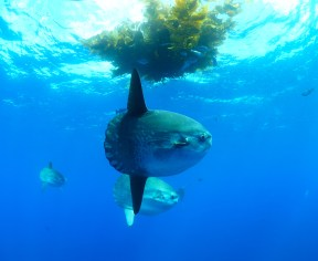 Mola mola. Image credit: Hookbuzz (http://blog.hookbuzz.com/fishing/2177/)