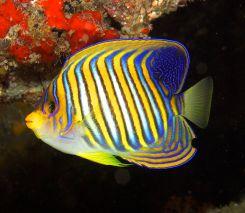 Regal angelfish. Image credit: Nick Hobgood (http://commons.wikimedia.org/wiki/File:Pygoplites_diacanthus_Regal_Angelfish_by_Nick_Hobgood.jpg)