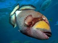 Titan triggerfish. Image credit: Leonard Low (https://www.flickr.com/photos/leonardlow/340743265/)