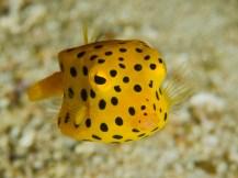 Yellow boxfish. Image credit: Nazir Amin (https://www.flickr.com/photos/dodol/2264496163)