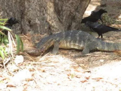 monitor lizard eating a fish, crows try to get it, Lumphini Park Thailand