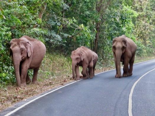 Khao Yai National Park, Chasing Elephants in Khao Yai National Park