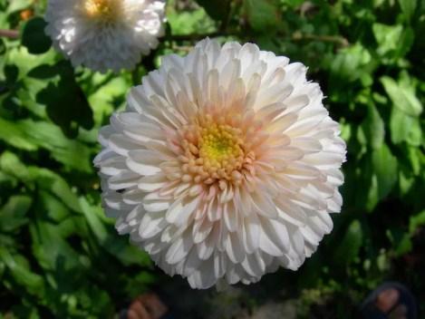 White Chrysanthemum - Qingming festival - onaroadtonowhere.com