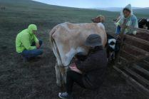 Traite des vaches sous la pluie