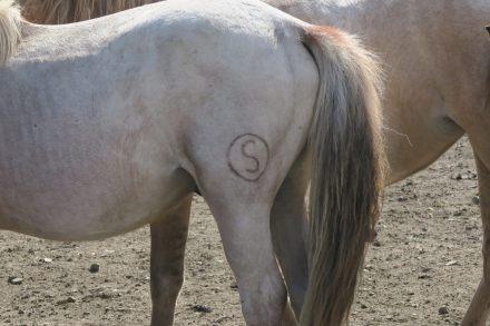 Les marques des chevaux