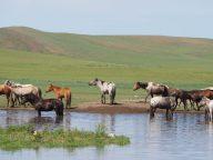 Des chevaux à un point d'eau