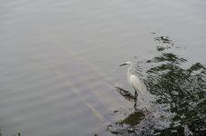 Héron sur la lac de Kandy