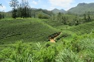 Vue sur les plantations de thé