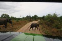 L'éléphanteau traverse la piste (vue depuis la jeep)