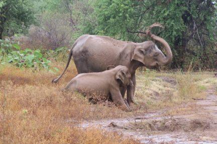 Avec le retour de la mousson, les éléphants sont contents : ils jouent dans la boue !