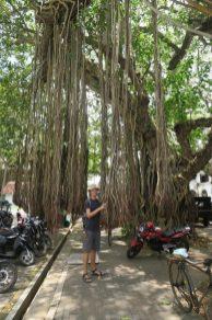 Julien joue avec les racines aériennes du figuier banian
