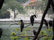 Oiseaux sur lac artificiel de Kandy