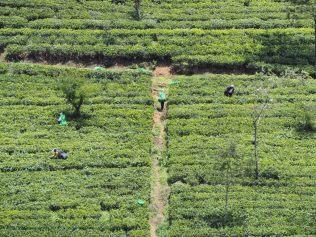 Vue sur les plantations de thé et leur cueillette depuis le train Kandy - Ella