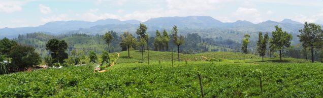 Panorama sur les plantations de thé