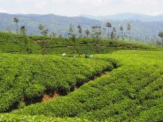 Vue sur les plantations de thé depuis le train Kandy - Ella