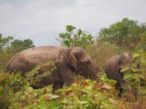 Eléphants à Udawalawe - Sri Lanka