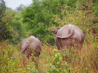 Deux éléphants battant la mesure avec leurs queues