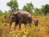 Une maman éléphant et son éléphanteau, Udawalawe, Sri Lanka